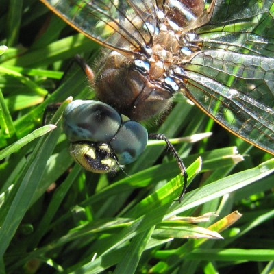 Dragonfly Smiley