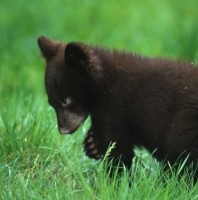 Bear Cubs Rescued!