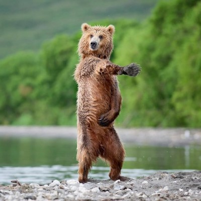 "These ""Dancing"" Bears cracked me up!"