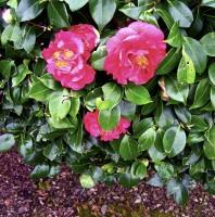 Camellia Bush Smiley
