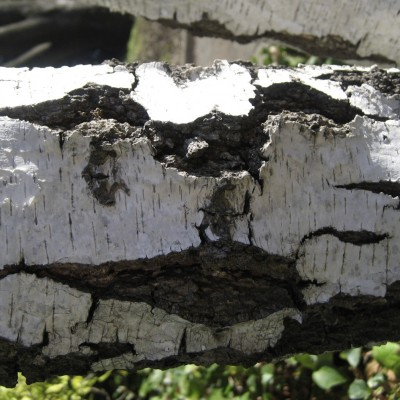 Birch Smiley