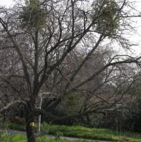 Mistletoe Smiley, #Smiley