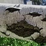Birch Tree Smiley